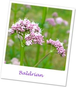 Baldrian