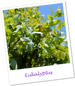 eukalyptus. Black Bedroom Furniture Sets. Home Design Ideas