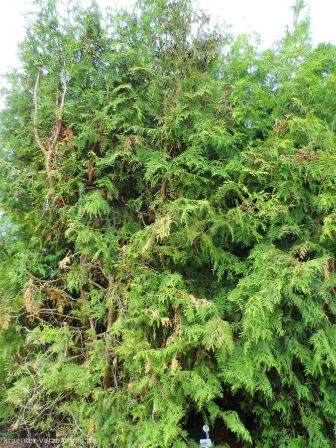 Thuja Holz Verwendung thuja lebensbaum