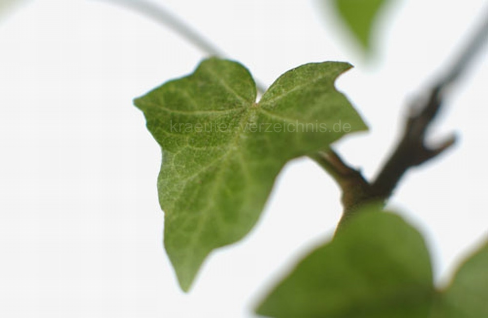Efeu - Efeu zimmerpflanze giftig ...