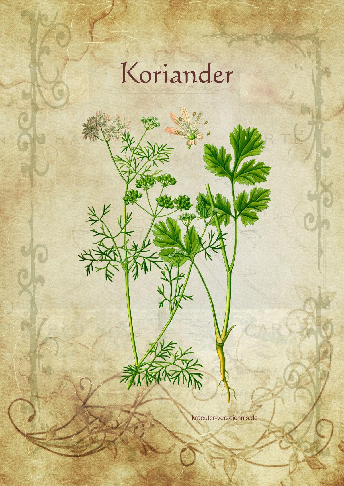 Entgiftende heilkr uter und mittel for Koriander pflanzen