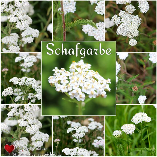 Schafgarbe Collage