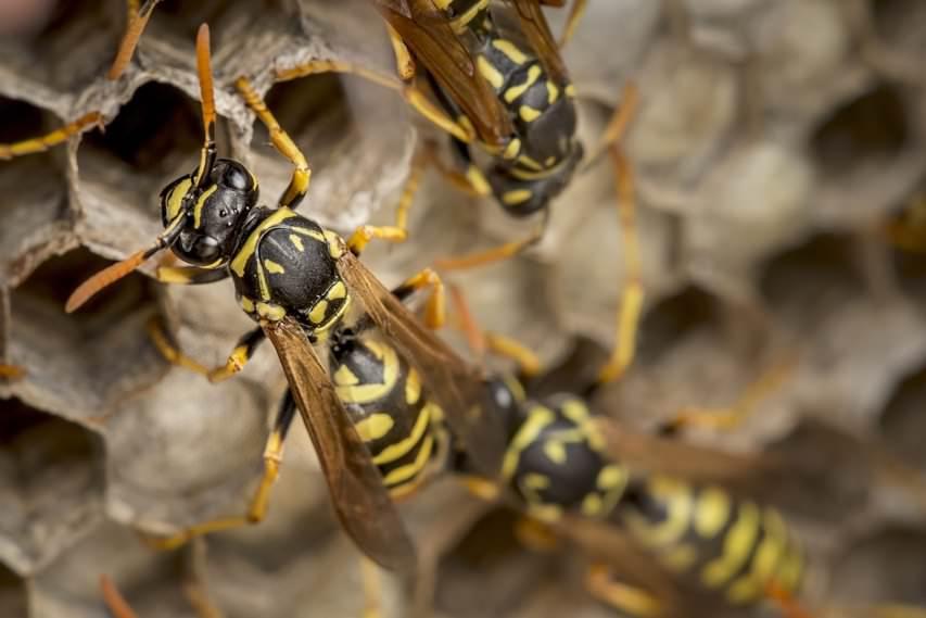 Was Hilft Gegen Wespen