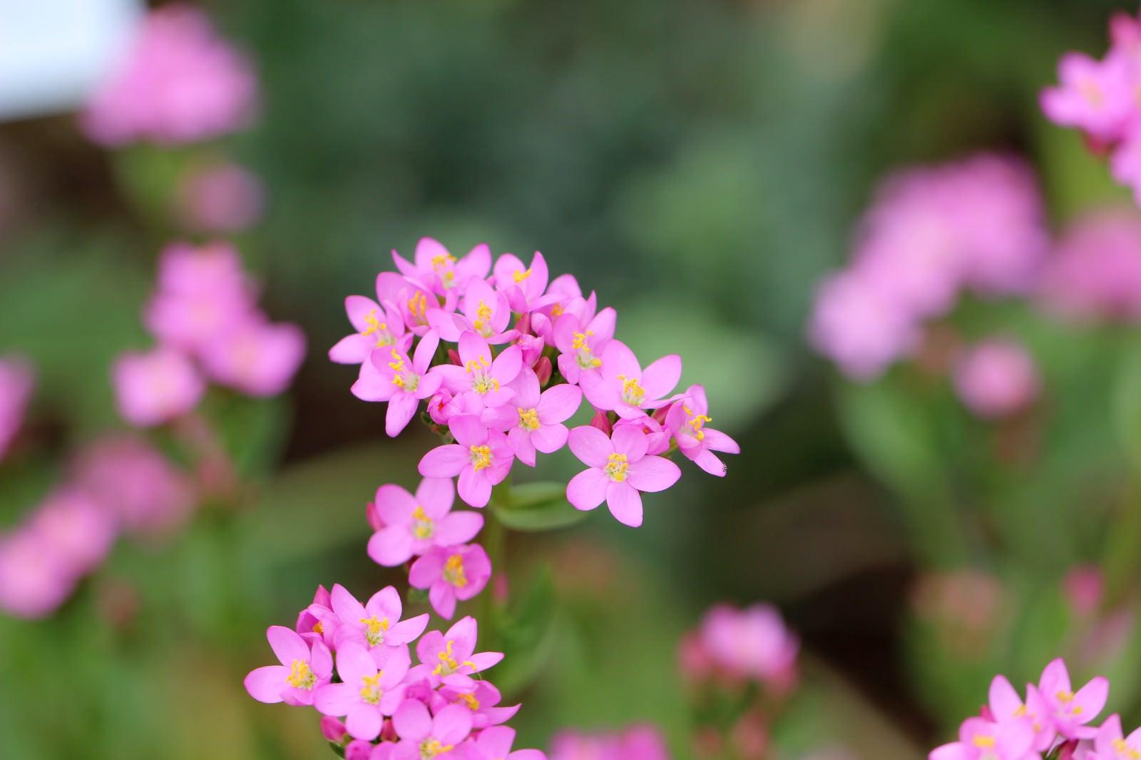 Tausendgüldenkraut sehr alte Heilpflanze mit rosa Blüten Hildegard von Bingen