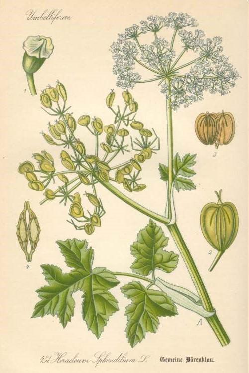 Bärenklau – Wiesen-Bärenklau (Heracleum sphondylum)